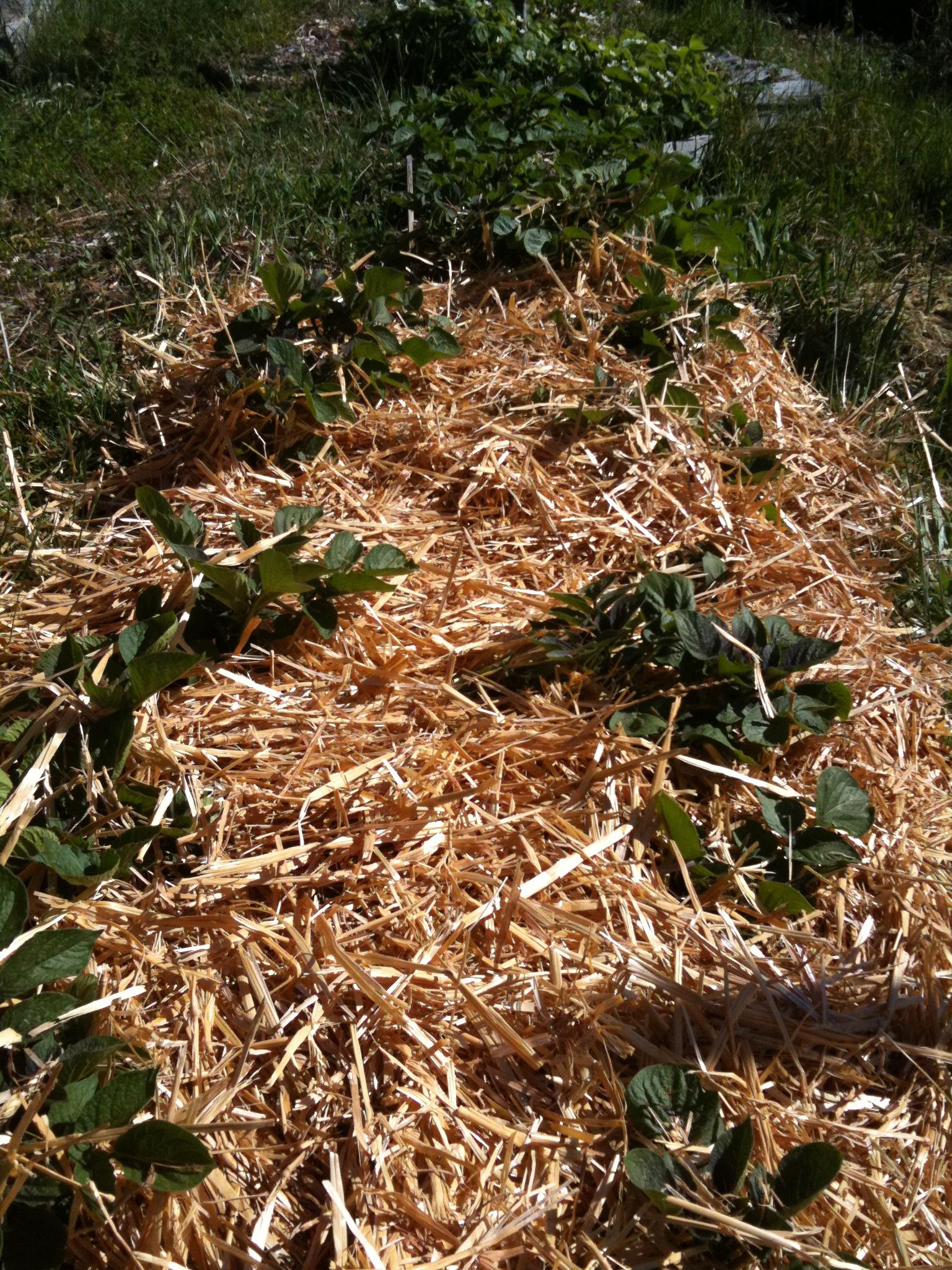 Growing Potatoes In Straw Bales Opt Out En Masse