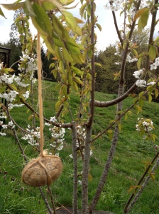 Zen rocks training branches for a good spread on fruit trees