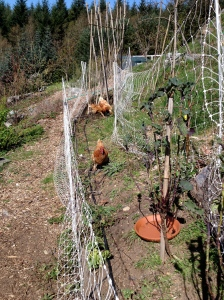 Chickens weeding our food forest beds