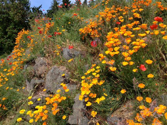 Poppies on hillside
