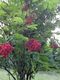 Wild elderberries