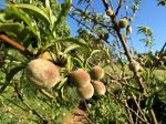 Peaches that don't come from a can