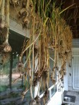 Annual garlic harvest with kids.