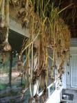 Annual garlic harvest with kids.