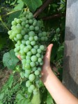 One of hundreds of grape clusters