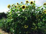 Very happy sunflowers