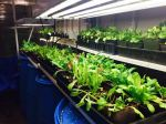 Greenhouse greens.