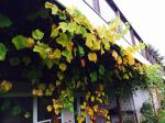 Grapes growing close to home, literally