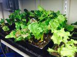 Lovely lettuce under the lights