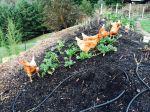 Prepping hugel bed for spring planting