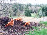 Free ranging in food forest while pasture under construction