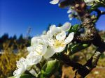 Asian pear blossoms (young tree)