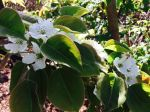 Asian pear blossoms (mature tree)