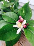 Lemon bush blossoms