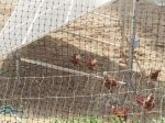 Solar powered chickens