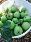Thinned the fruit trees of four 5-gallon buckets for better yield (fed the chickens)