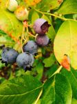 Blueberries rarely make it into the house
