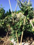 Bamboo props again for the fruit trees