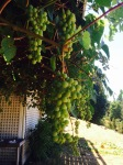Love grapes!