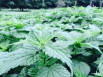 We have forests of stinging nettle for tinctures and food!