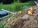 Chickens eating pulled tomato plants from hugel bed