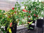Chili peppers transplanted back to greenhouse