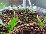 Happy seedlings make me happy