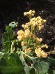 Color cauliflower