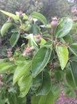 Future pears!