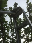 Orchard ladder to reach (and kill) tent caterpillars