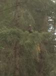 Juvenile bald eagle, just hanging out