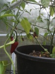 Chili pepper plant going strong in Year Two