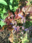 Lettuce and borage like each other