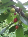 Cherries above a trove of raspberries