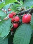 Cherries before harvesting
