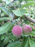 Thinning apples: which one to leave?