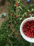 Cherries: view from a ladder