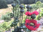 Love these poppies