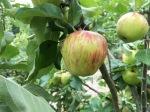 Gorgeous apples