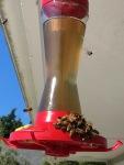 Bees borrowing from thehummingbirds
