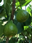 Figs: on the tree