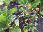 Colorful little chilis