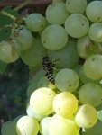 Racing the wasps during grape harvest.
